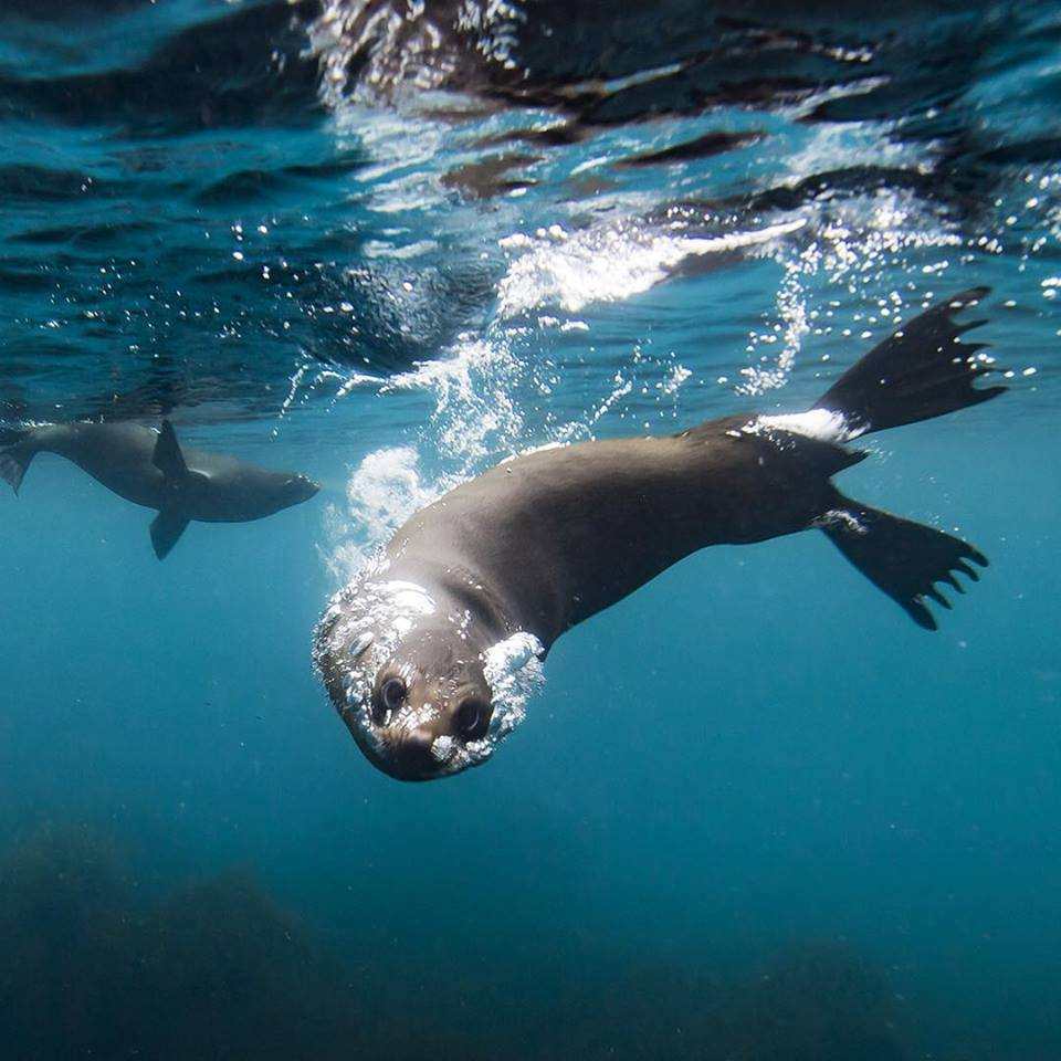 Roaring 40s Kayaking blog - Tasman Peninsula seals - Australian Fur Seal