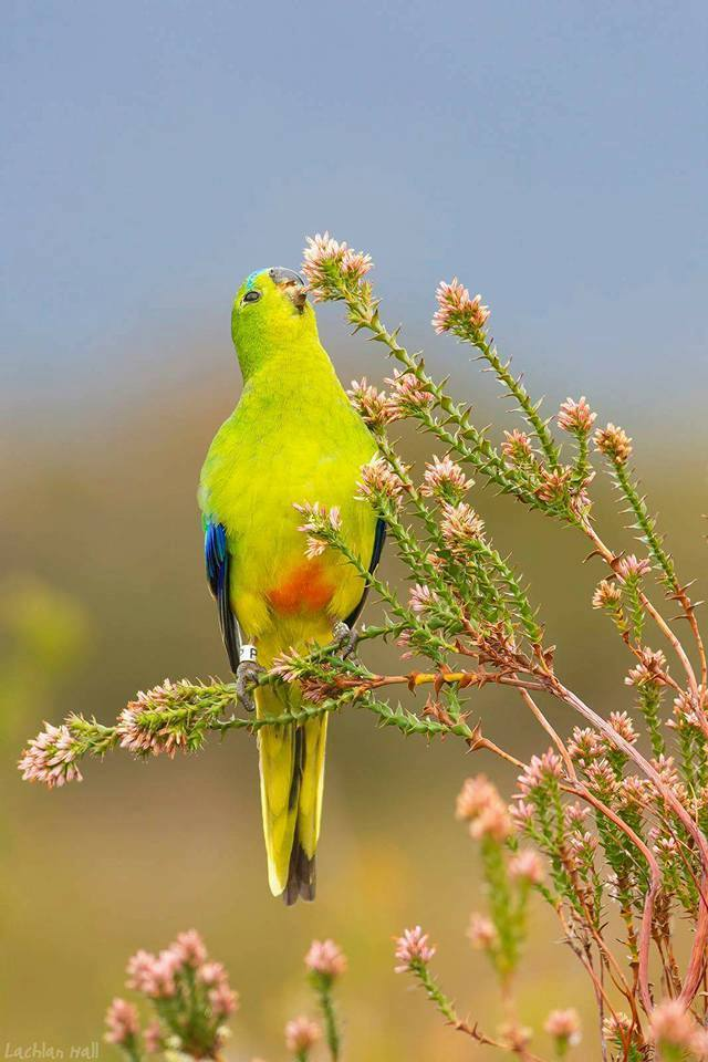 Roaring 40s Kayaking blog - Saving the Orange-bellied Parrot - Melaleuca, Southwest Tasmania