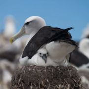 Roaring 40s Kayaking blog - Shy albatross research program - Shy albatross and baby