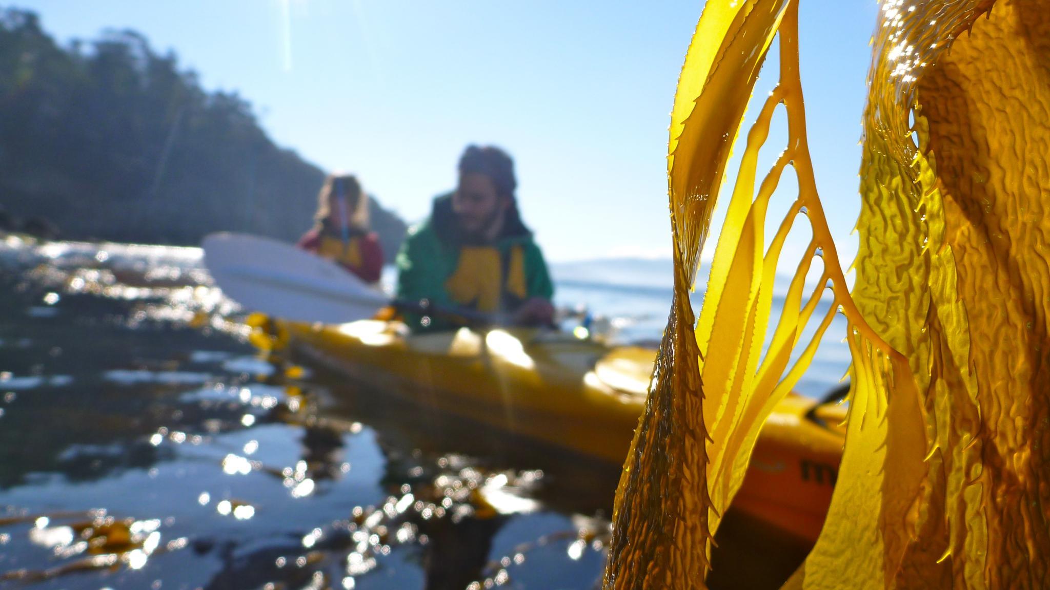 Seaweed in front of kayakers on the Tinderbox coastline