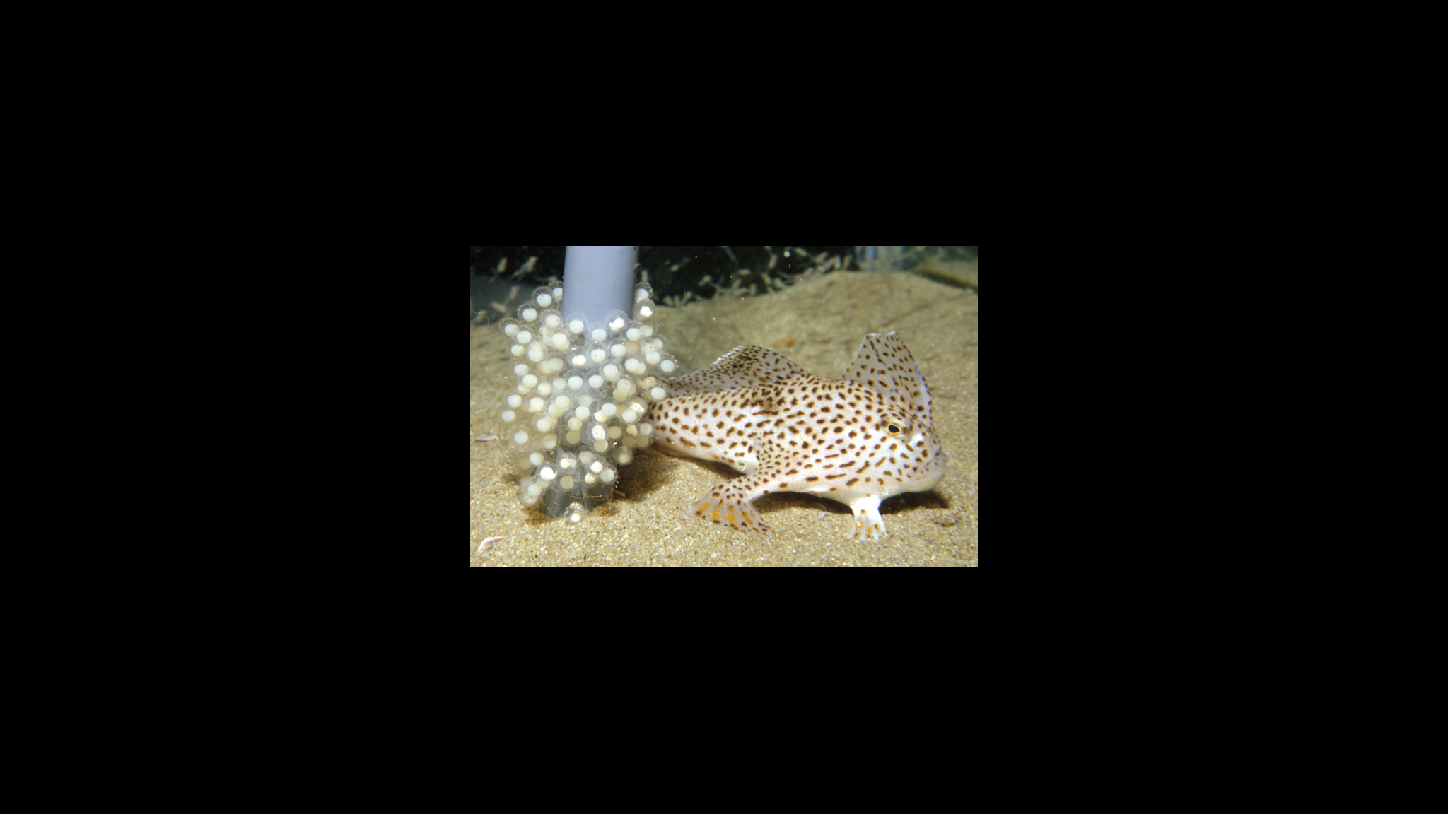 Roaring 40s Kayaking blog - Handfish - A female Spotted Handfish with eggs