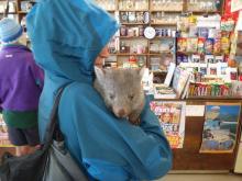 Roaring 40s Kayaking blog - Wombats on Flinders Island on a sea kayaking adventure