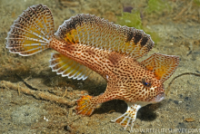 Roaring 40s Kayaking Blog - The Spotted Handfish - Hobart's Hero