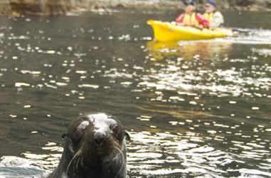 Seals playing at the Tasman Peninsula